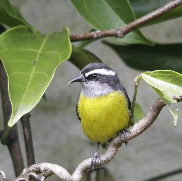 Bananaquit, La Florida, Colombia, 4-12-13. RG