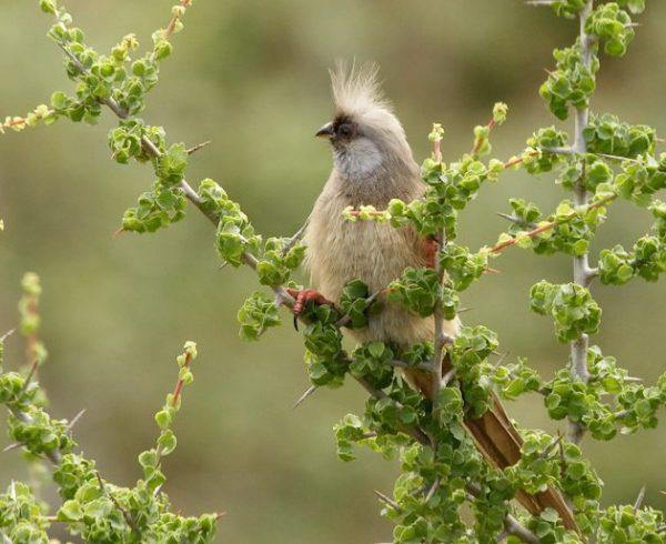 Bruine Muisvogel Speckled Mousbird